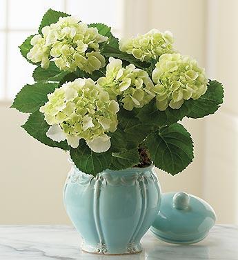 Orlando Florist hydrangeas