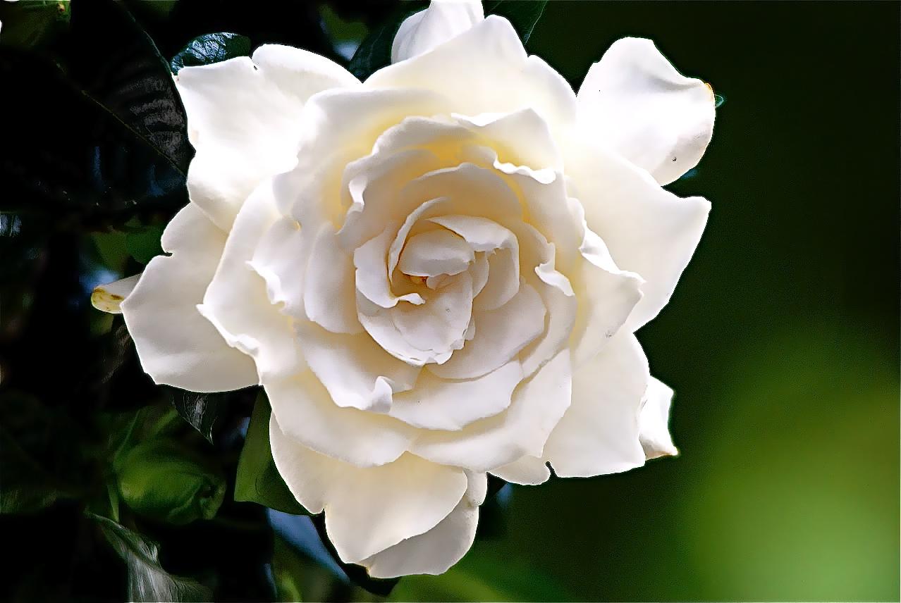 Orlando Florist gardenia