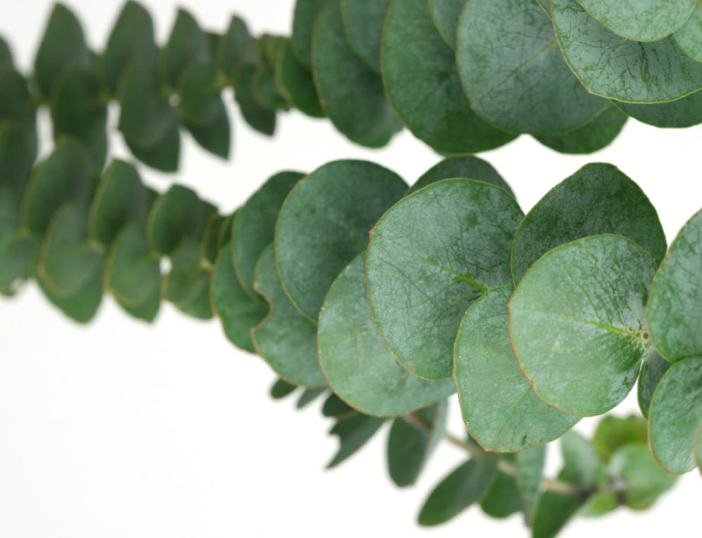 Surprising Uses for Eucalyptus