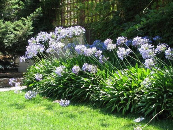 Bay Hill Florist Orlando agapanthus